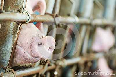Young pig in shed