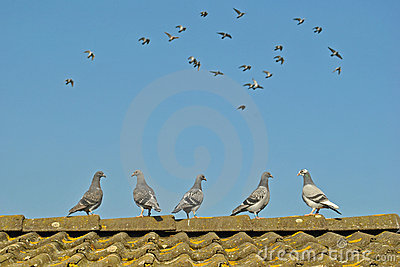 Young pigeons watch flying pigeons