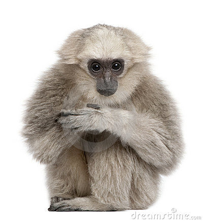 Young Pileated Gibbon, 1 year