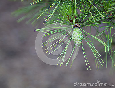 Young Pine Cone Closeup