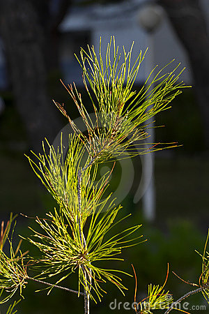 Young pine tree in dawn lighting