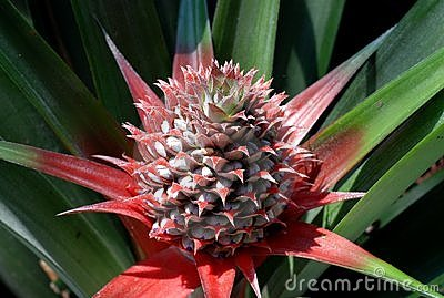 Young Pineapple