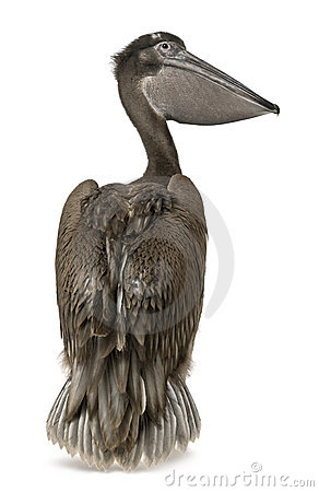 Free Young Pink-backed Pelican, 2 Months Old, Standing Royalty Free Stock Photos - 14885888