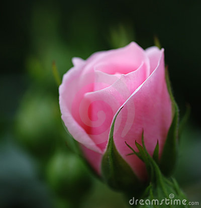 Young pink rose