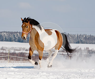 Young pinto horse
