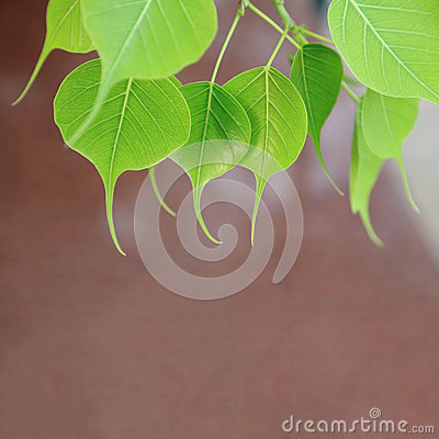 Free Young Pipal Leaves. Green Leaf Background. Natural Spring Scene. Royalty Free Stock Images - 74650499