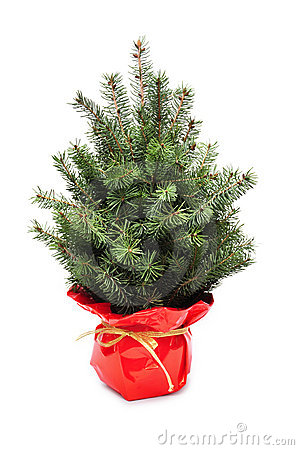 Young plant of christmas tree
