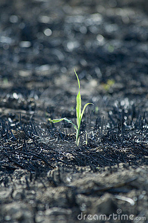 Free Young Plant On Burned Field Stock Image - 3530091