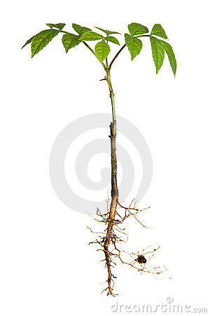 Free Young Plant With Roots Royalty Free Stock Photo - 14203815