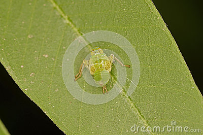 Young planthopper