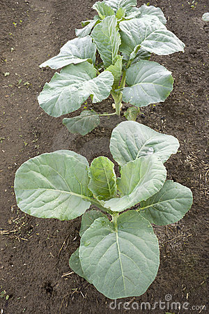 Young plants of cabbage