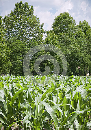 Young plants in a corn field