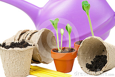Young plants are ready for a bigger flowerpot