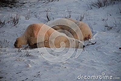 A Young Polar bear