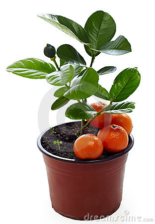 Young potted mandarin plant isolated on white