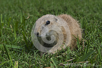 Young Prairie Dog