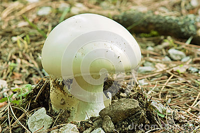 Young prataiolo fungus, agaricus campestris