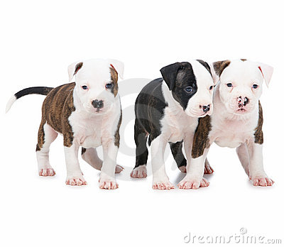 Young puppy dogs playing on white