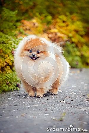 Young puppy Spitz in autumn