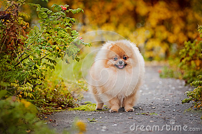 Young puppy Spitz in autumn