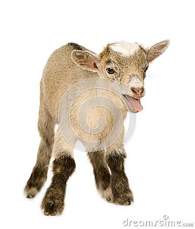 Pygmy goat gestation calculator, pygmy dwarf goats new england ...