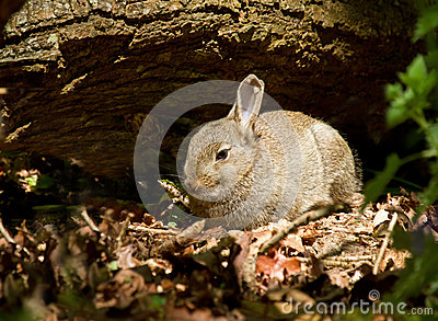 Young Rabbit in Woodland