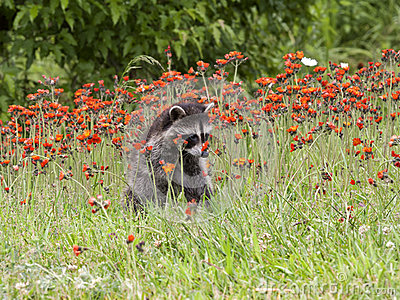 Young Raccoon Stopping to Smell the Flowers