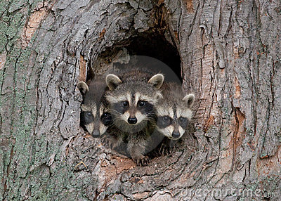 Young Raccoons