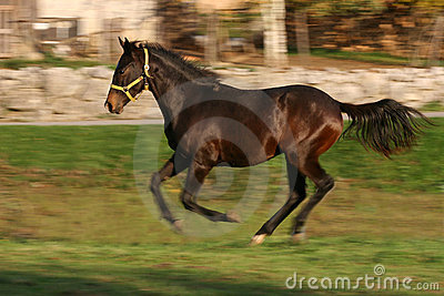 Young racing stallion