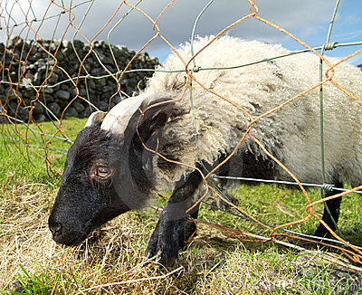 Young ram trapped