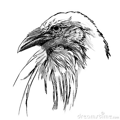 Young raven head
