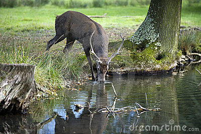 Young red deer drinking