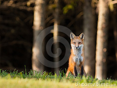 Young red fox keeping an eye on the camera