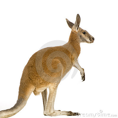 Young red kangaroo (9 months) - Macropus rufus