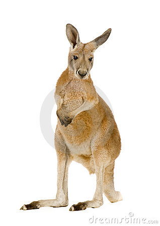 Free Young Red Kangaroo (9 Months) - Macropus Rufus Stock Image - 5207921