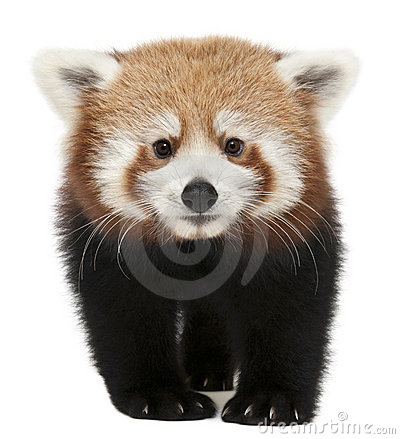 Free Young Red Panda Or Shining Cat, Ailurus Fulgens Stock Images - 17952614
