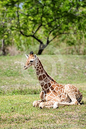 Young Reticulated Giraffe