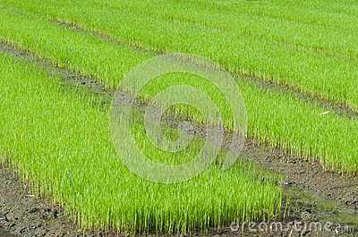 Young rice cultivate .