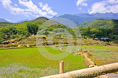 Young rice field with mountain background
