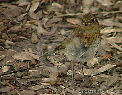 A young robin amoungst woodchips