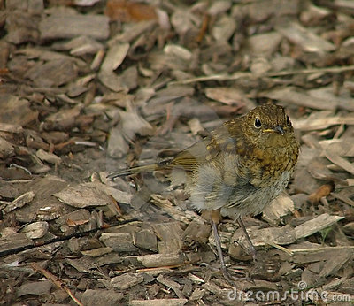 Young robin in waiting