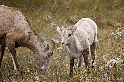 Young Rocky Mountain Bighorn Sheep