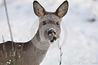 Young roe eating.