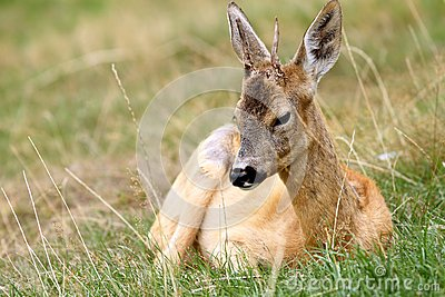 Young roebuck with small trophy