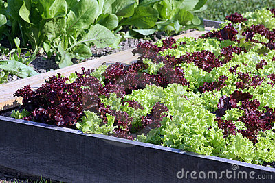 Young salad on the raised garden bed
