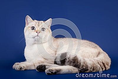Young scotish straight kitten