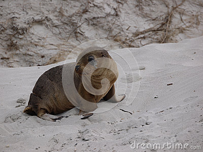 A young sea lion