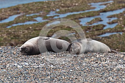 Young Sea Lions - Puppies