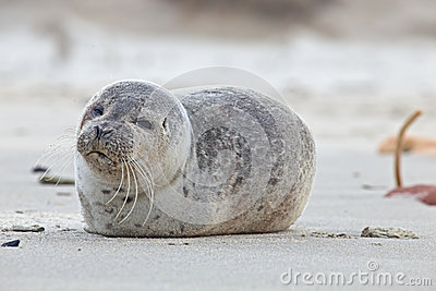 Young seal at the beach