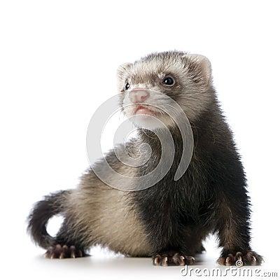 Free Young Siamese Sable Ferret Kit Royalty Free Stock Photos - 2525248